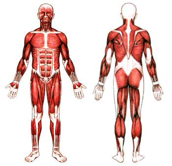an analysis of ceratine a compound that supplies energy to muscles in athletes Biomedicina slovenica: deskriptorsko kazalo abattoirs (8) abdominal muscles (51) compound 48-80 (26.